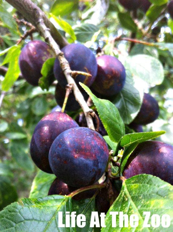 foraging plums