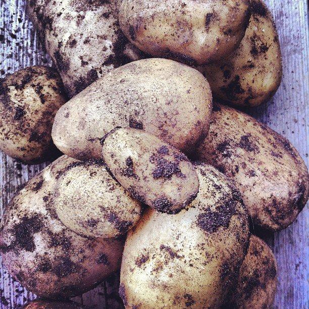 potato container garden