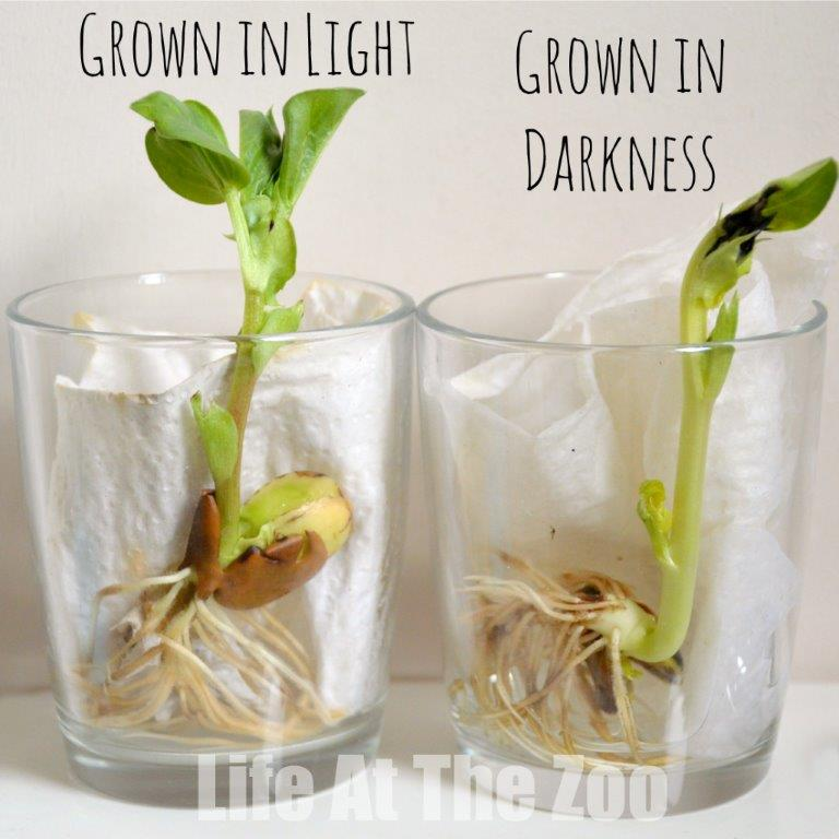 Bean Growing Experiment - Science for Kids