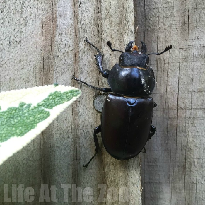 Female Stag Beetle - exploring nature and wildlife with kids