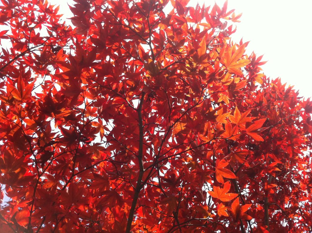 Gorgeous red leaves